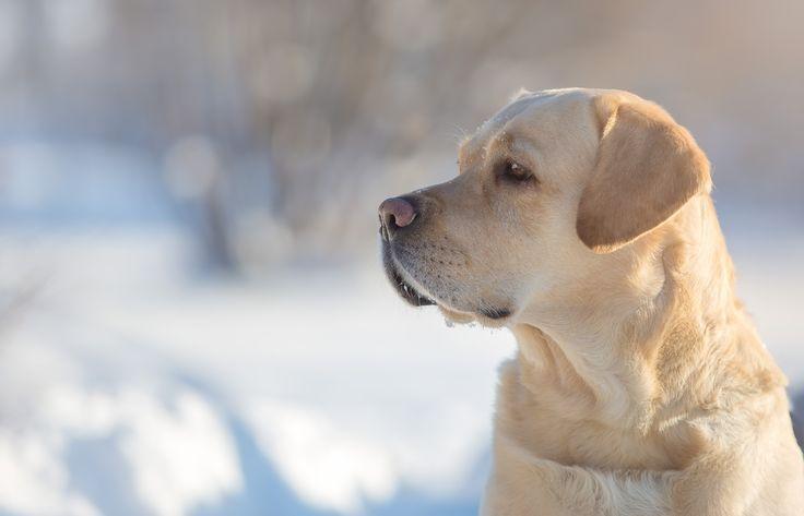 Скачать обои собака, портрет, пёс, Лабрадор-ретривер, морда, профиль, раздел собаки в разрешении 5063x3255
