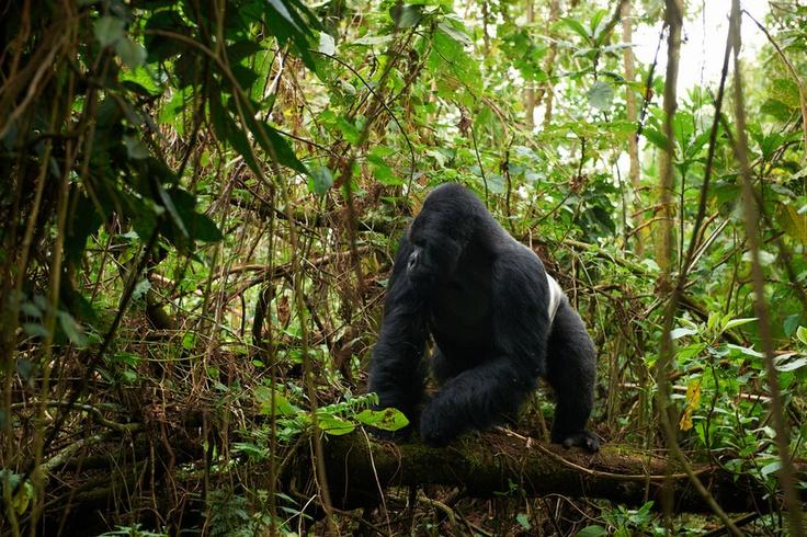 Gorille de montagne mâle, dos argenté. Rwanda