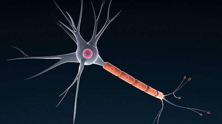 Nervensystem  Die Gesamtlänge unserer Nervenbahnen entspricht der Strecke von der Erde zum Mond – und zurück. Bis zu 100 Milliarden Nervenzellen gibt es in unserem Körper, etwa 14 Milliarden davon allein im Gehirn. Die möglichen Verbindungen zwischen den Nervenzellen erreichen astronomische Werte, durch die unglaubliche Vielzahl der Kombinationsmöglichkeiten stimmen niemals zwei Menschen in ihren Gehirnleistungen überein. Die Nervenzellen leiten Impulse mit einer Geschwindigkeit von 0,5 bis…