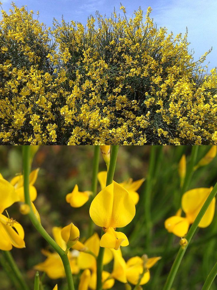 X . Spartium junceum (Genêt d'Espagne): -Quelques heures après l'ingestion des fleurs surviennent nausées, vomissements, altération de l'état général, diarrhées. Les graines provoquent de plus des convulsions, des sueurs, puis une détresse cardio-respiratoire pouvant entraîner la mort.