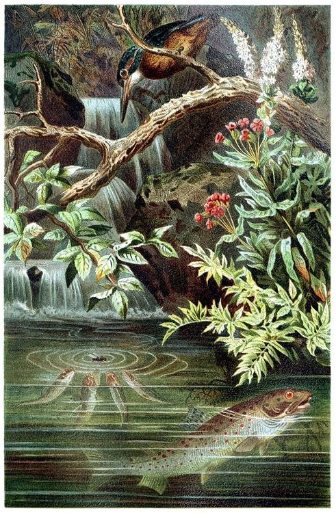 Brown Trout (Salmo trutta fario)  (with kingfisher…)    From Brehms Tierleben (Brehm's animal life) vol. 8, under the direction of Alfred Edmund Brehm, Leipzig & Vienna, 1900.    (Source: archive.org)