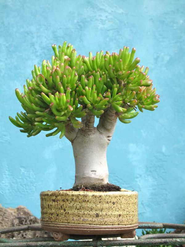 The succulent, Crassula, being grown bonsai style