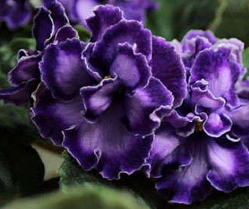 African-Violet-Purpurniy-Mirazh-Lyuks-plant-Russian-Variety