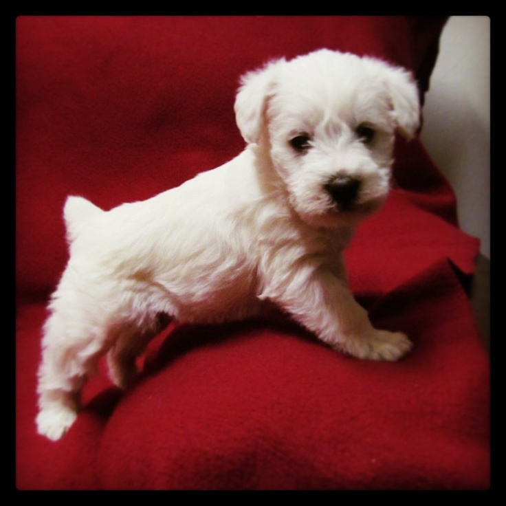 Schnoodle...never saw my rescue as a puppy, but I think he would have looked like this!