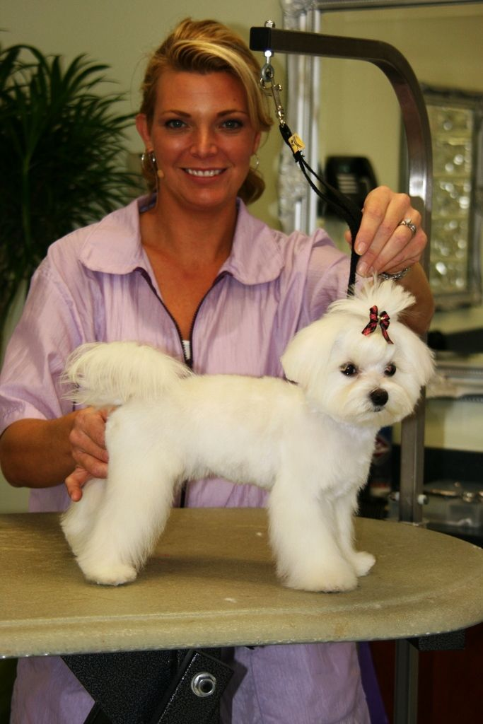 In This Session Courtney Grooms An Adorable Pomeranian Maltese
