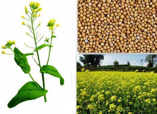 польза горчицы при различных заболеваниях и в похудении
