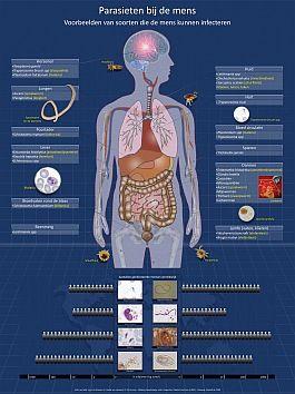 Wat zijn parasieten? Een parasiet is een organisme dat tijdelijk of permanent leeft in een ander levend organisme, de gastheer. De parasiet heeft het andere levende organisme nodig voor voedsel. Het is makkelijk om parasieten te verwarren met bacteriën, virussen en schimmels, maar parasieten vormen een aparte groep. Parasieten kun je in drie groepen verdelen: ééncellige parasieten (protozoën), wormen (bijv. rondwormen) en geleedpotigen (bijv. teken of luizen) .