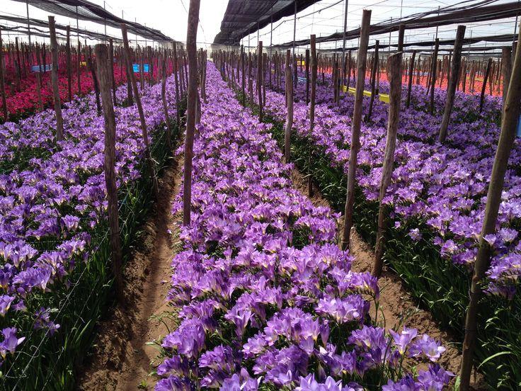 Freesia 'Blue Sky'. flowering in Morocco.