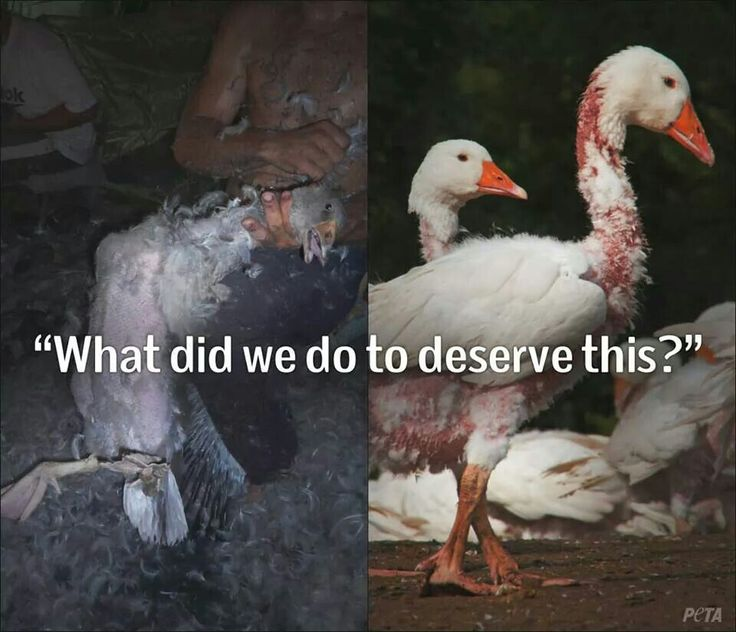 Down Pillows Animal Cruelty : Please Stop Animal Abuse Pinterest Animal, Animal cruelty and Animal cruelty facts
