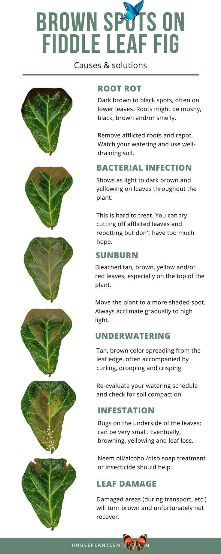 Common Fiddle Leaf Fig Problems With Visual Guide Houseplant Central Is Your Fiddle Leaf Fig Houseplant Not Looking So Hot Figur En 2020 Jardinage Jardins Nature