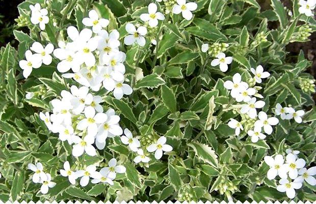 Arabette, arabis alpina, arabis caucasica, beau couvre-sol aux fleurs en croix blanche, simples ou doubles, blanches, roses, éclarlate... Toutes les infos sur jaime-jardiner.com