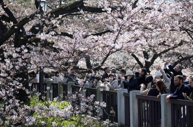 People take photographs of cherry trees in bloom in Tokyo, Japan. Japan's cherry blossom season is reaching its climax this week. The season officially kicked off on March 21, 2017, wh...