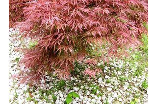 How to Care for a Dwarf Japanese Maple Tree (with Pictures) | eHow