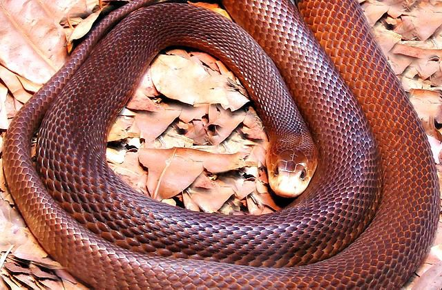 Is the inland taipan more dangerous than the coastal taipan? The Fierce Snake / Inland Taipan Facts - Questions and Answers.
