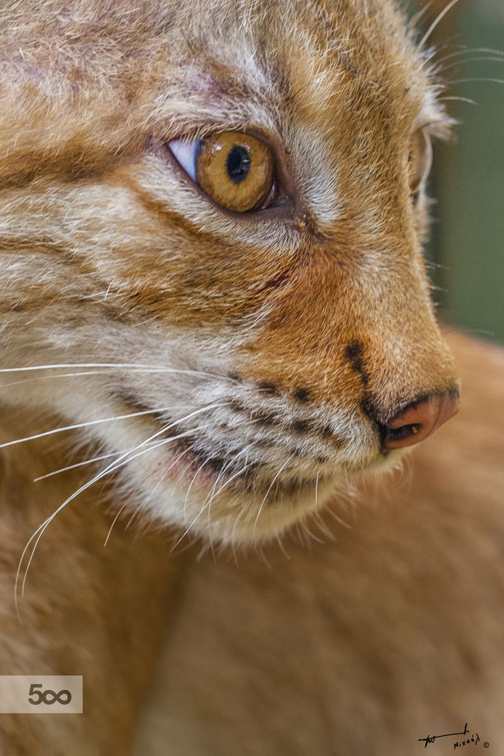 """A lynx plural lynx or lynxes is any of the four species within the Lynx genus of medium-sized wild cats. The name """"lynx"""" originated in Middle English via Latin from the Greek word """"λύγξ"""" derived from the Indo-European root """"leuk-"""", meaning """"light, brightness"""", in reference to the luminescence of its reflective eyes."""