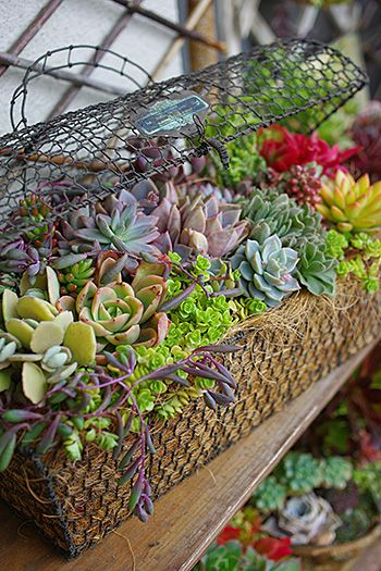 succulents in basket: Wire Baskets Lov, Gardens Ideas, Succulents Planters, Baskets Gardens, Succulents Gardens, Beautiful Succulents, Baskets Planters, Gardens Succulents, Basketlov