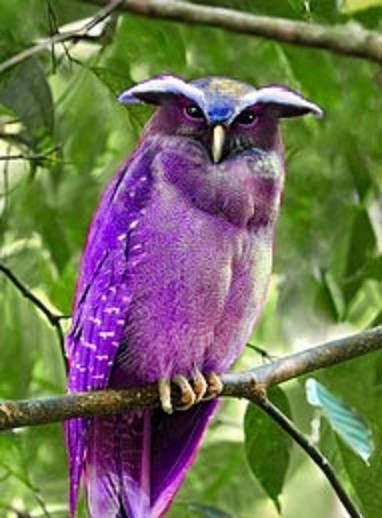 The very best of Rabbit Carrier's pins - I have never seen a purple crested owl--how cool is this??