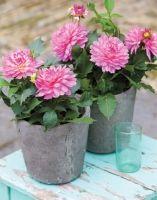 Kan je tuin wel een #oppepper gebruiken? Een pot met bloeiende #dahlia's tussen de vaste planten doet wonderen.