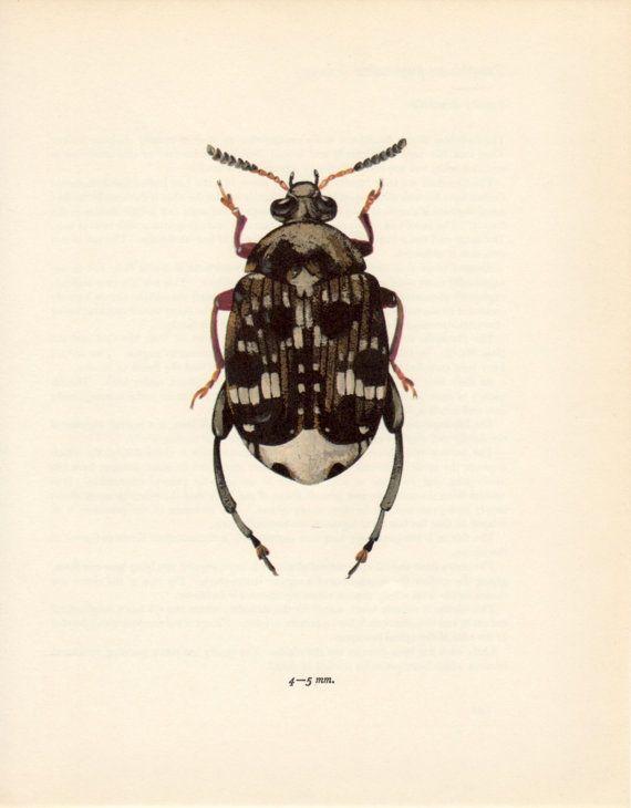 Charançon de pois de 1964, Bruchus pisorum, Vintage Bug Print, insecte couleur plaque, Bruchidae, coléoptère, charançon, entomologie, Beetle Poster Print