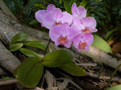 Orchidée papillon