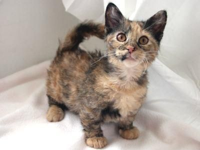 Or does this cat have real dachshound legs ? Skookum: Skookum Cats, Shorts Leggings, Pet, Kitty Kat, Munchkin Cats, Kittens, Midget Cats, Dwarfs Cats, Adorable Animal