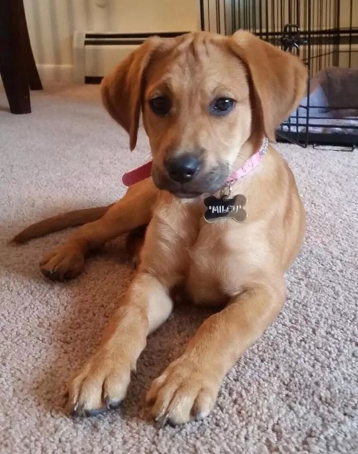 yellow lab mix puppies - photo #39