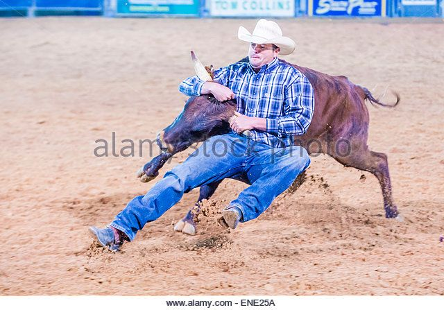 Cowboy Participating in a Steer wrestling Competition at the Clark County Rodeo a Professional Rodeo held in Logandale , Nevada - Stock Image