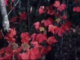 NPIN: Acer rubrum (Red maple)Acer rubrum  Acer rubrum L.  Red maple, Scarlet maple Aceraceae (Maple Family) USDA Symbol: ACRU Native Status: L48 (N), CAN (N)