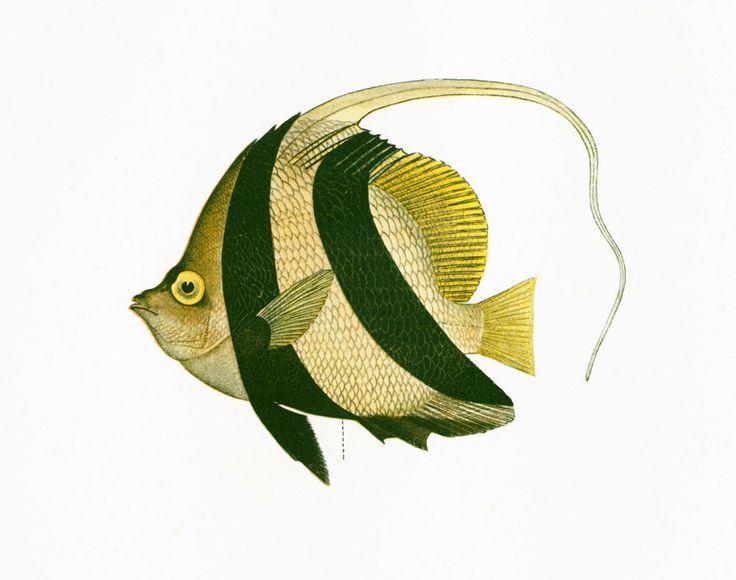 1932 Poisson-cocher. Heniochus Acuminatus. Gravure Originale. Poisson Tropical. Aquariophilie. Ichtyologie Asie Pacifique Ocean Indien. de la boutique sofrenchvintage sur Etsy