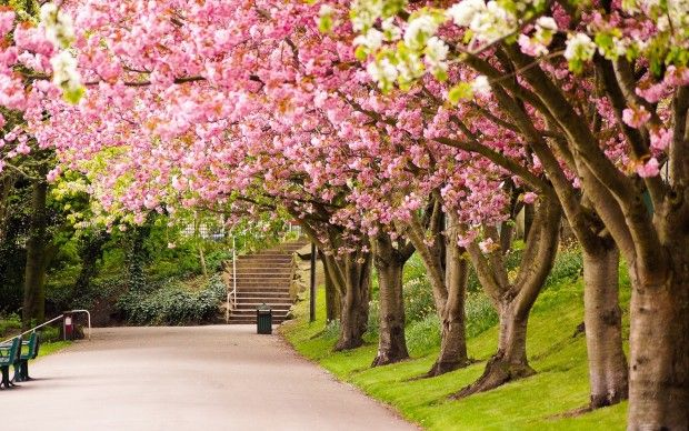 Sheffield England Park Tree Cherry Blossom Road Alley In Spring Spring Desktop Wallpaper Nature Desktop Wallpaper Spring Flowers Wallpaper