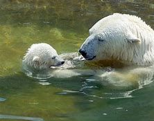 Image result for polar bears swimming
