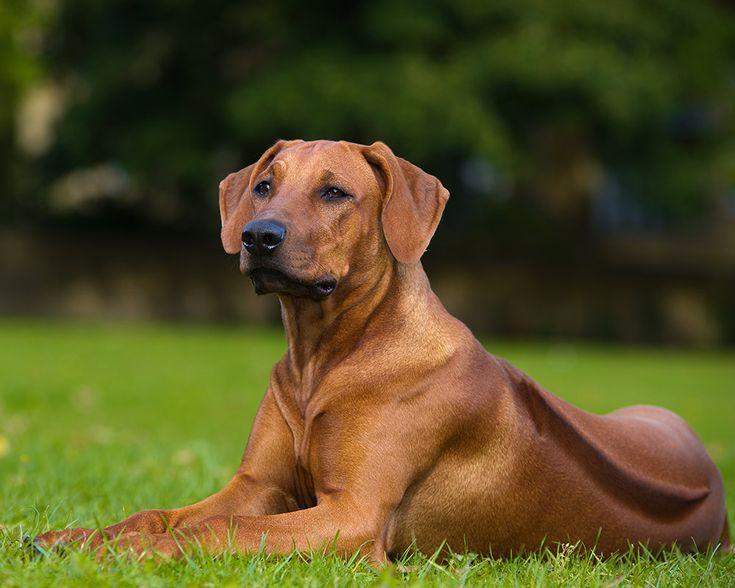 Extremamente protector, leal e afectuoso para com os seus donos, o Leão da Rodésia, sem prejuízo das excelentes capacidades de caça e de guarda, é um óptimo cão de companhia. Saiba mais!