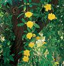 Primrose Jasmine, under the mesquite, evergreen, winter color, 10x6. Low water use plants for Arizona