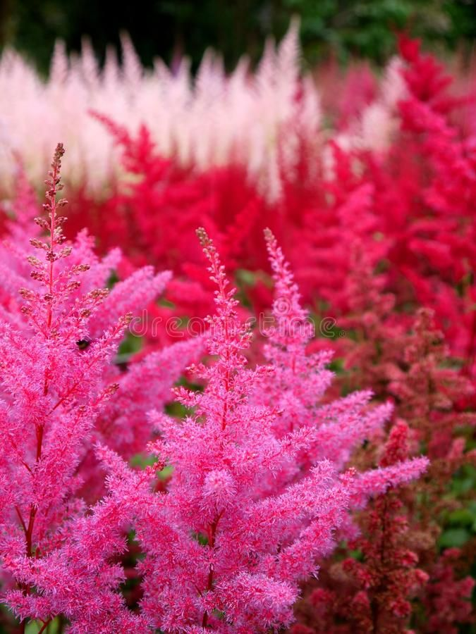 Garden Pink And Red Astilbe Flowers Stock Images In 2020 Astilbe Flowers Plants