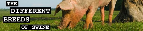 The different breeds of swine, breeds of pig, pig breeds.
