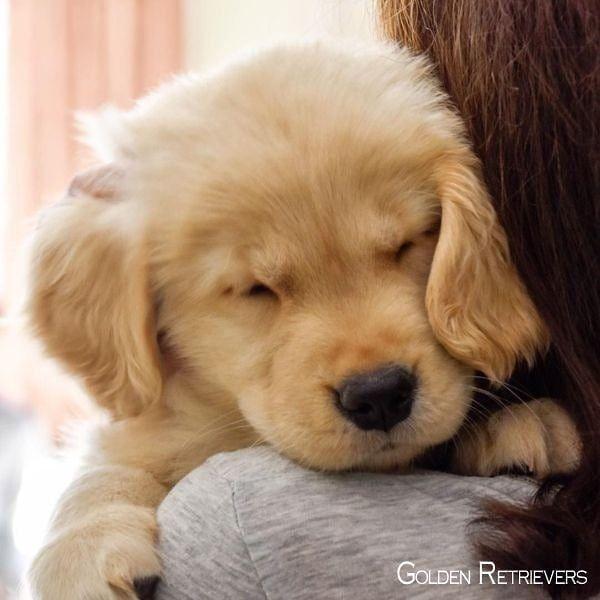 Cute Golden Retriever Puppy Cutedogsofinstagram Cutepuppies
