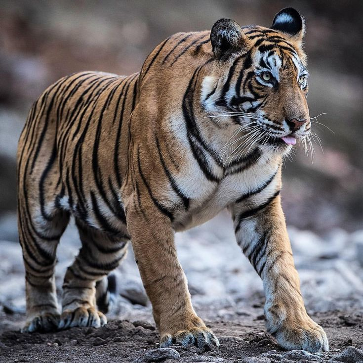Best 25 Tiger pictures ideas on Pinterest Tigers in the wild