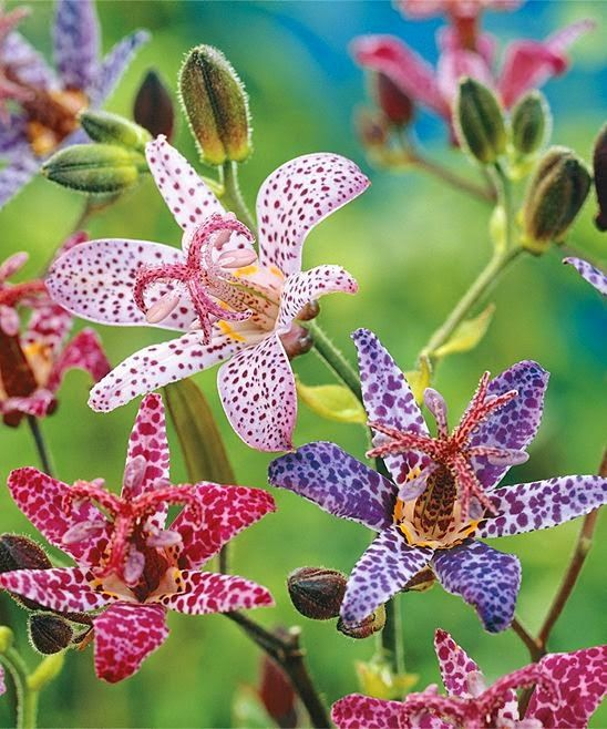Mixed Toad Lillies Plant