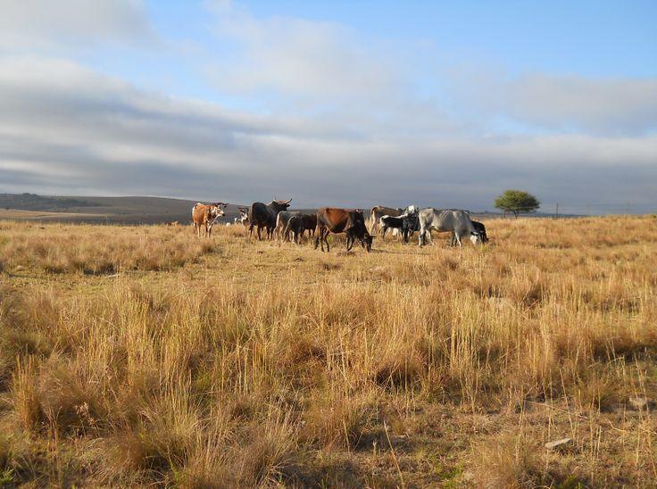 Nguni herd. Photo by Sherrol Swallow