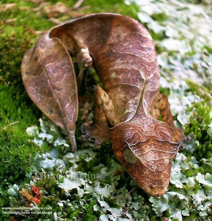 Santanic Leaf tailed gecko