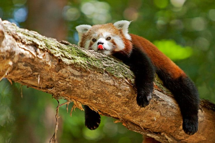 Red Pandas are the best 2! :)