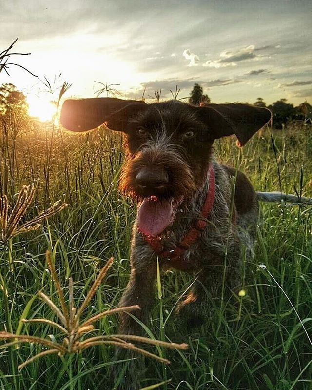 Dumbo or German Wirehaired Pointer?