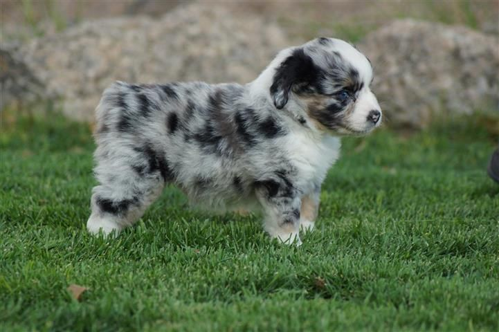 Pin by Lyndav on Dog Love Miniature american shepherd