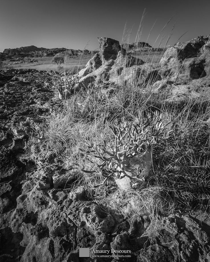 Pachypodiums, Plateau of the Isalo, Madagascar, 2005  © Amaury Descours - All rights reserved