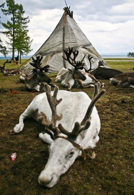 The Huvsgul Lake National Park, Mongolia. The Tsaatan tribe of nomads have grazing rights for their reindeer herds in the park..