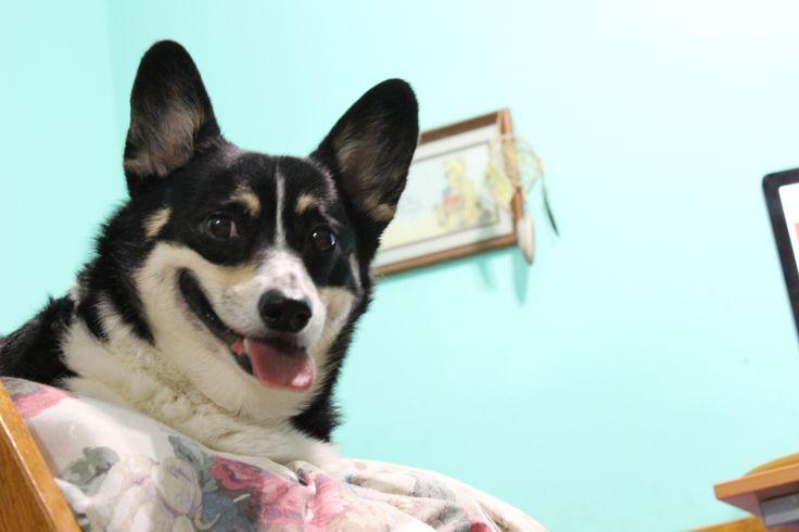 Crescent :) #pembroke #welsh #corgi #tricolor #princess #dog #perfectsmile #happydog