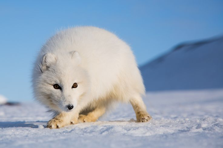 Arctic Fox, Svalbard   #svalbard #artic #travel #wildlife