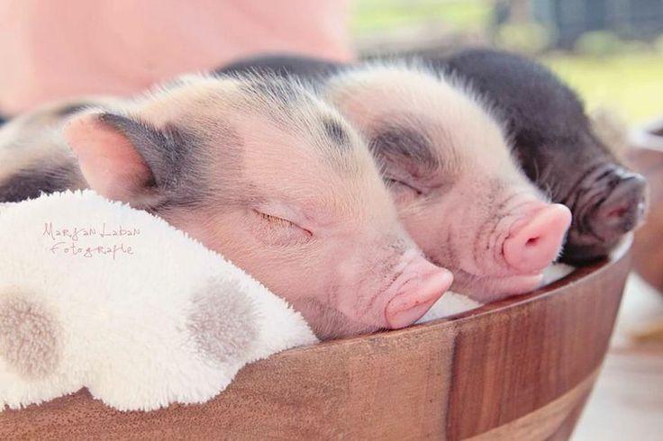 Links onze lieve Billy! Samen met haar broers voor de Newbornshoot. Minivarkens