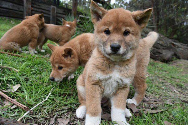 Щенки австралийской собаки динго