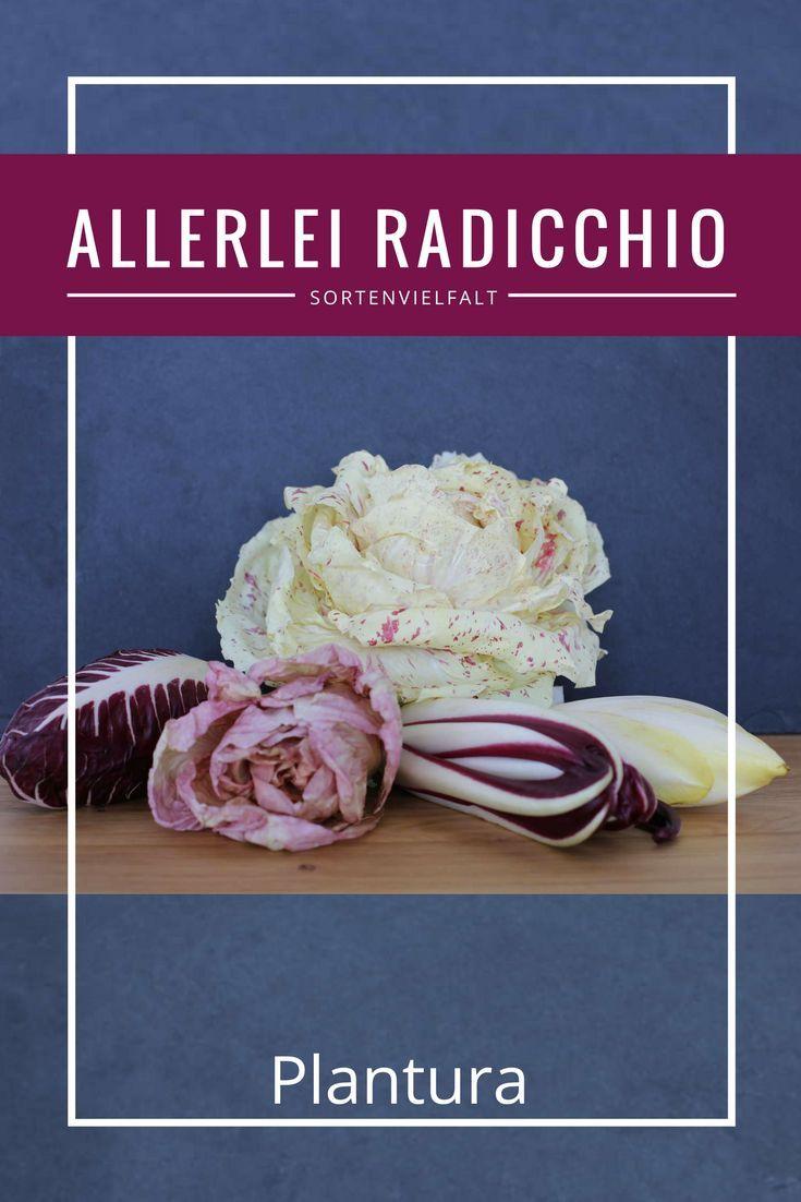 Die Herkunft der meisten Radicchio Sorten ist der Norden Italiens. Hier gedeihen die unterschiedlichsten Radicchio Pflanzen wirklich prächtig. Für den Hobbygärtner gilt es danach zu unterscheiden, wann der Radicchio angebaut beziehungsweise geerntet werden soll. Mehr dazu erfahrt Ihr auf www.plantura.garden